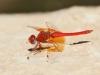 Trithemis kirbyi - male - IMG_8877