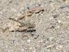 Brachythemis imartita - male immature IMG_9776