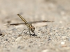 Brachythemis imartita - male immature IMG_9782