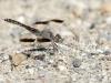 Brachythemis imartita - male IMG_9919