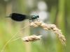 Calopteryx splendens - male_IMG_2098