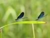 Calopteryx virgo - two males_IMG_2158