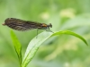 Calopteryx virgo - female_IMG_2226