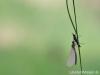 Calopteryx splendens - in minimalistischer Gestaltung