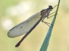 Calopteryx splendens - female