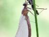 Caloperyx splendens
