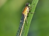 Ischnura elegans - female