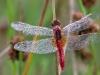 Feuerlibelle - Crocothemis erythraea mature male