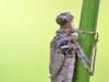 Leucorrhinia caudalis_larve_img_2479