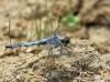 Orthetrum brunneum - Südlicher Blaupfeil männlich