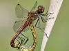 Sympetrum sanguineum kopula