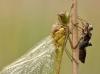 Sympetrum vulgatum - male - Metamorphose