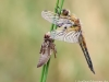 Libellula quadrimaculata, juveniles Männchen