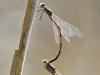 Gemeine winterlibelle vor der Paarung