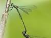Lestes viridis Tandem