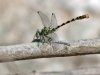 Onychogomphus forcipatus ssp. albotibialis - male IMG_2572