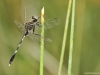 Orthetrum sabina - male _IMG_2723