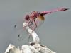 Trithemis annulata - male IMG_6181