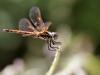 Trithemis annulata - female IMG_7378