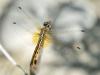 Trithemis annulata - female _71