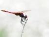 Trithemis annulata - male 143