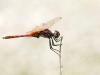 Trithemis annulata - male 145