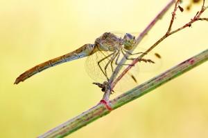 Weibchen: Erkennungsmerkmale anliegende Legescheide, helle Beine, fast zeichnungslose Brust, kaum Schwarzanteile an Brust und Hinterleib